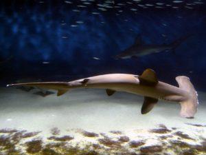 hammerhead-shark-586807_1280